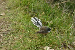 Image of New Zealand fantail