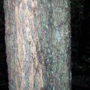 Image of cedar wattle