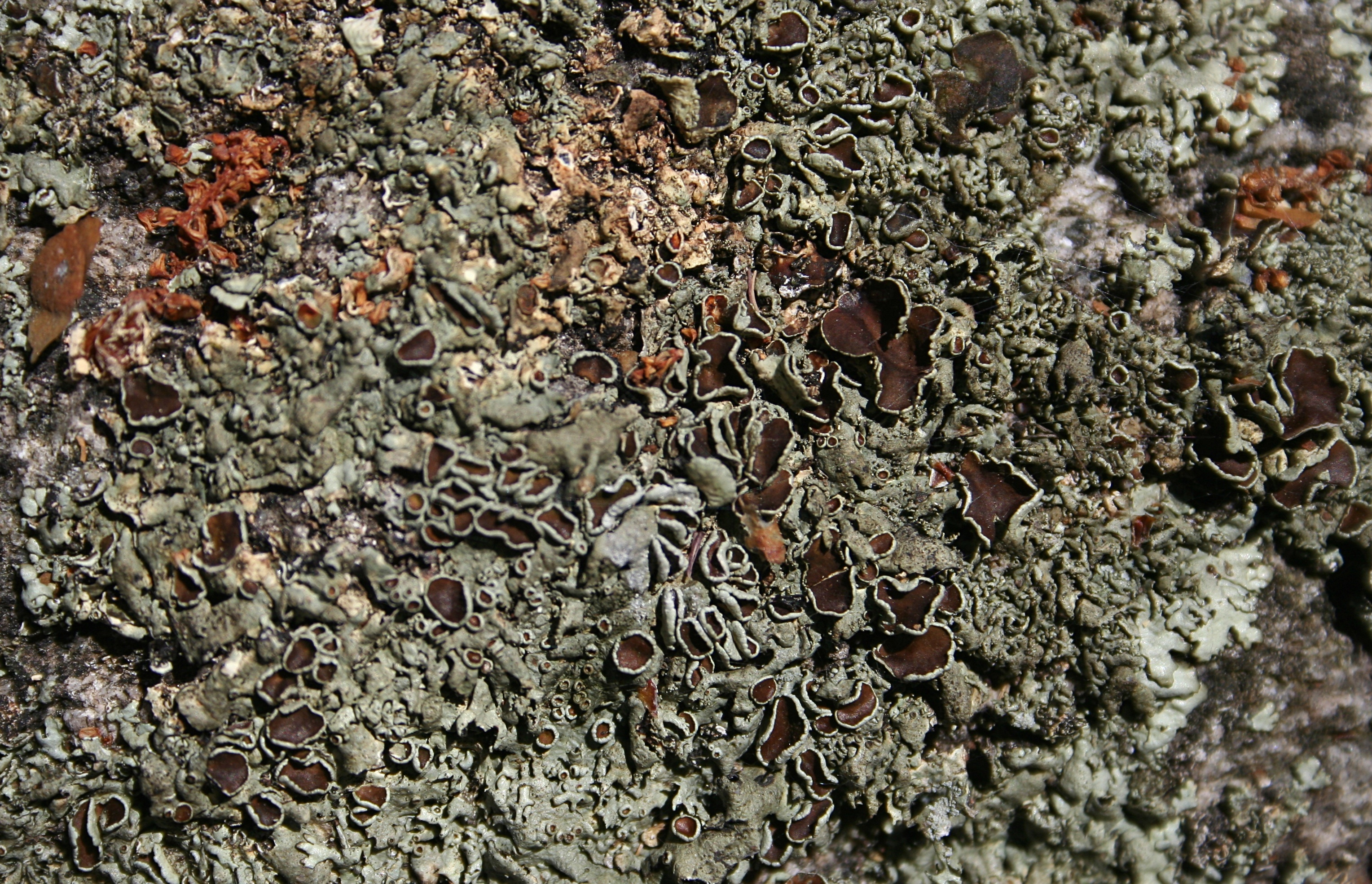 Image of Peppered Rock-shield