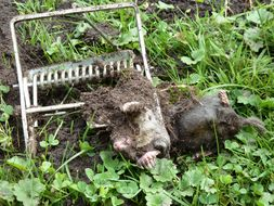 Image of European mole, common mole