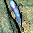 Image of Southern cavefish