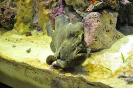 Image of Commerson's frogfish