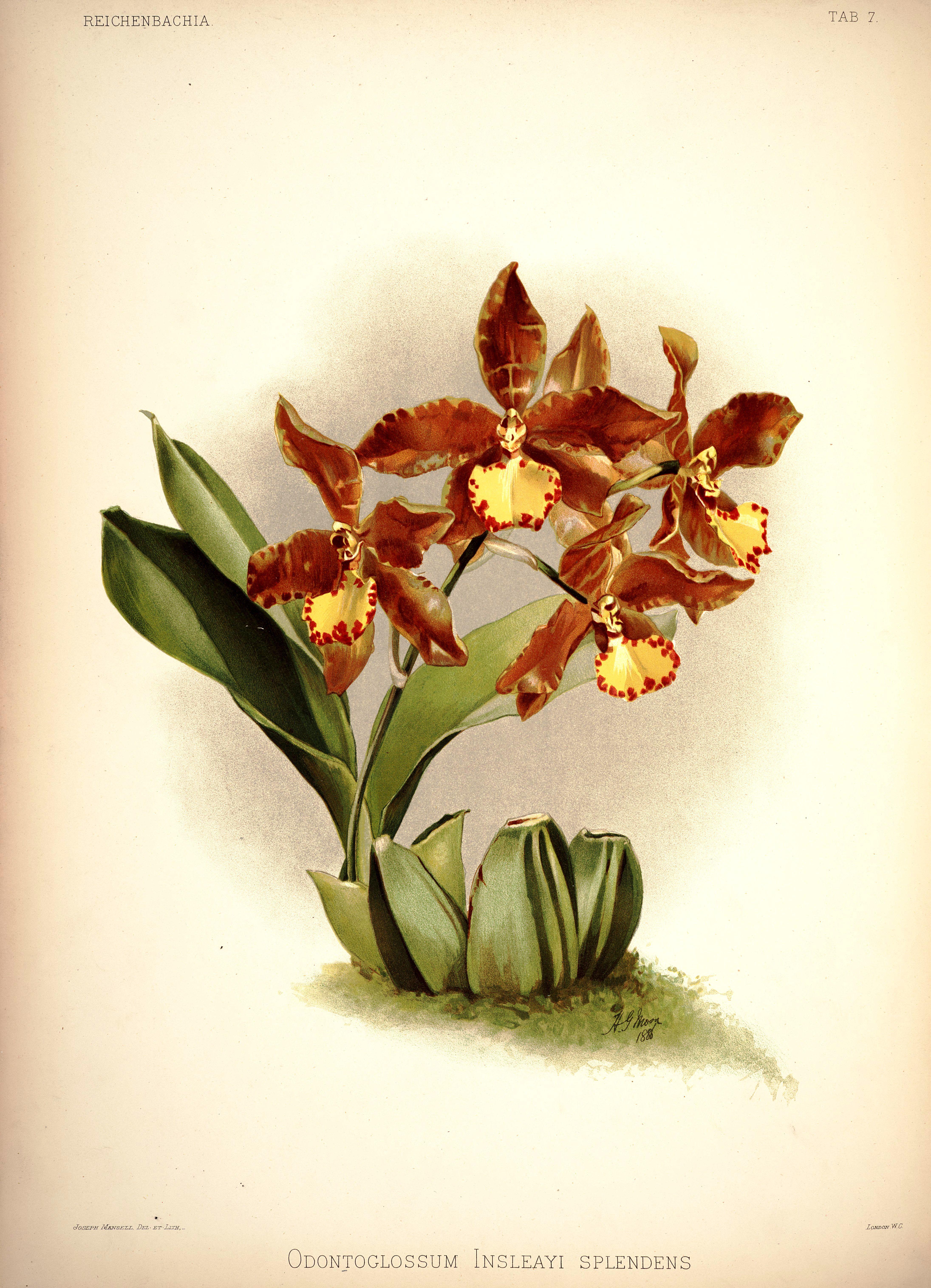 Image of Rossioglossum