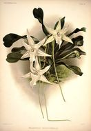 Image of Darwin's orchid