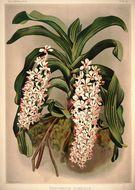Image of <i>Rhynchostylis gigantea</i> (Lindl.) Ridl.
