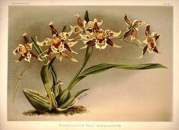 Image of <i>Odontoglossum hallii</i>