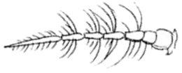 Image of Buzzer midge
