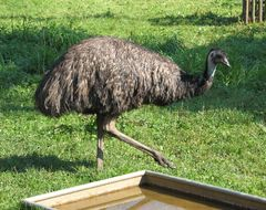 Image of Emu