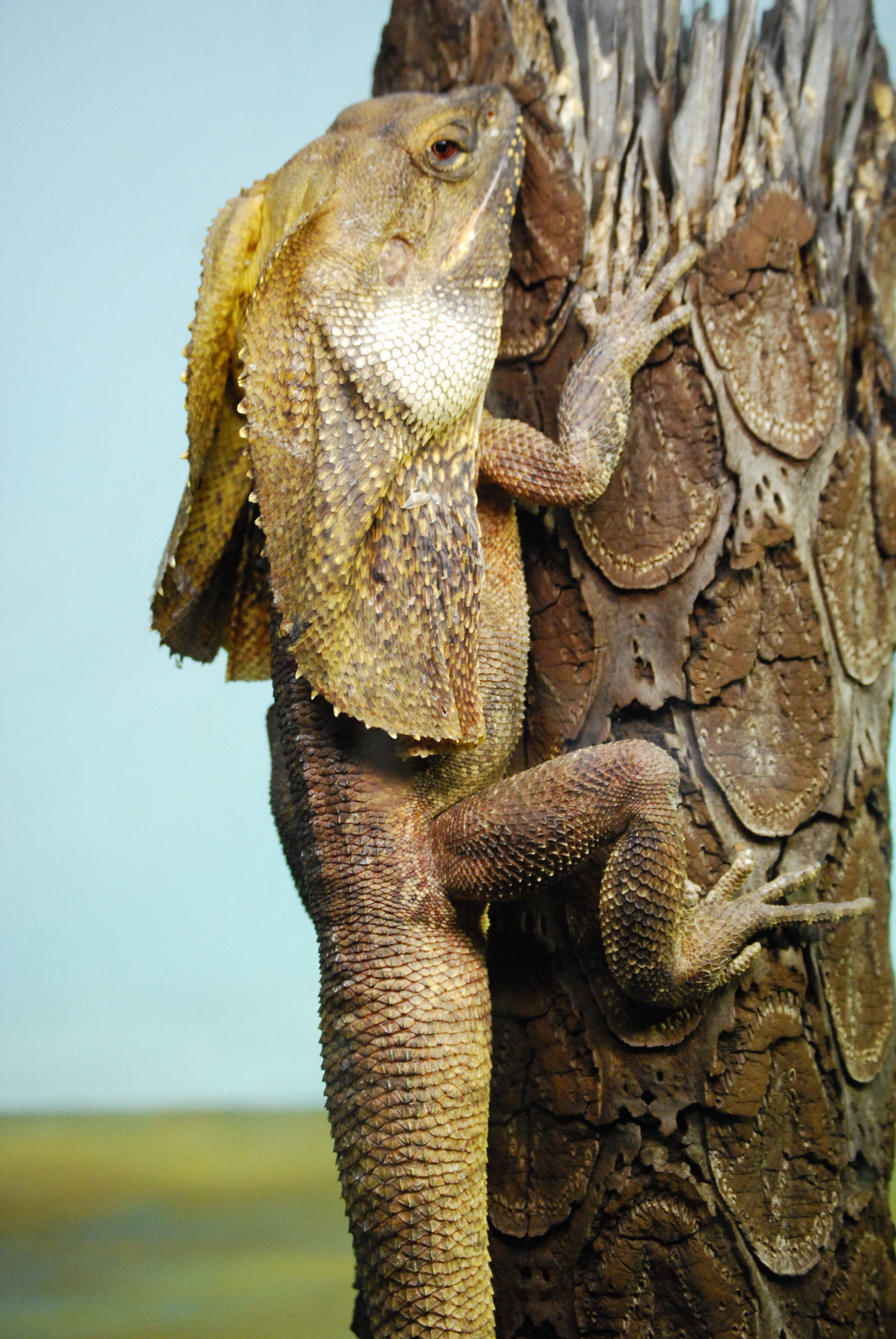 Image of frilled lizard