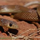 Image of Banded Racer