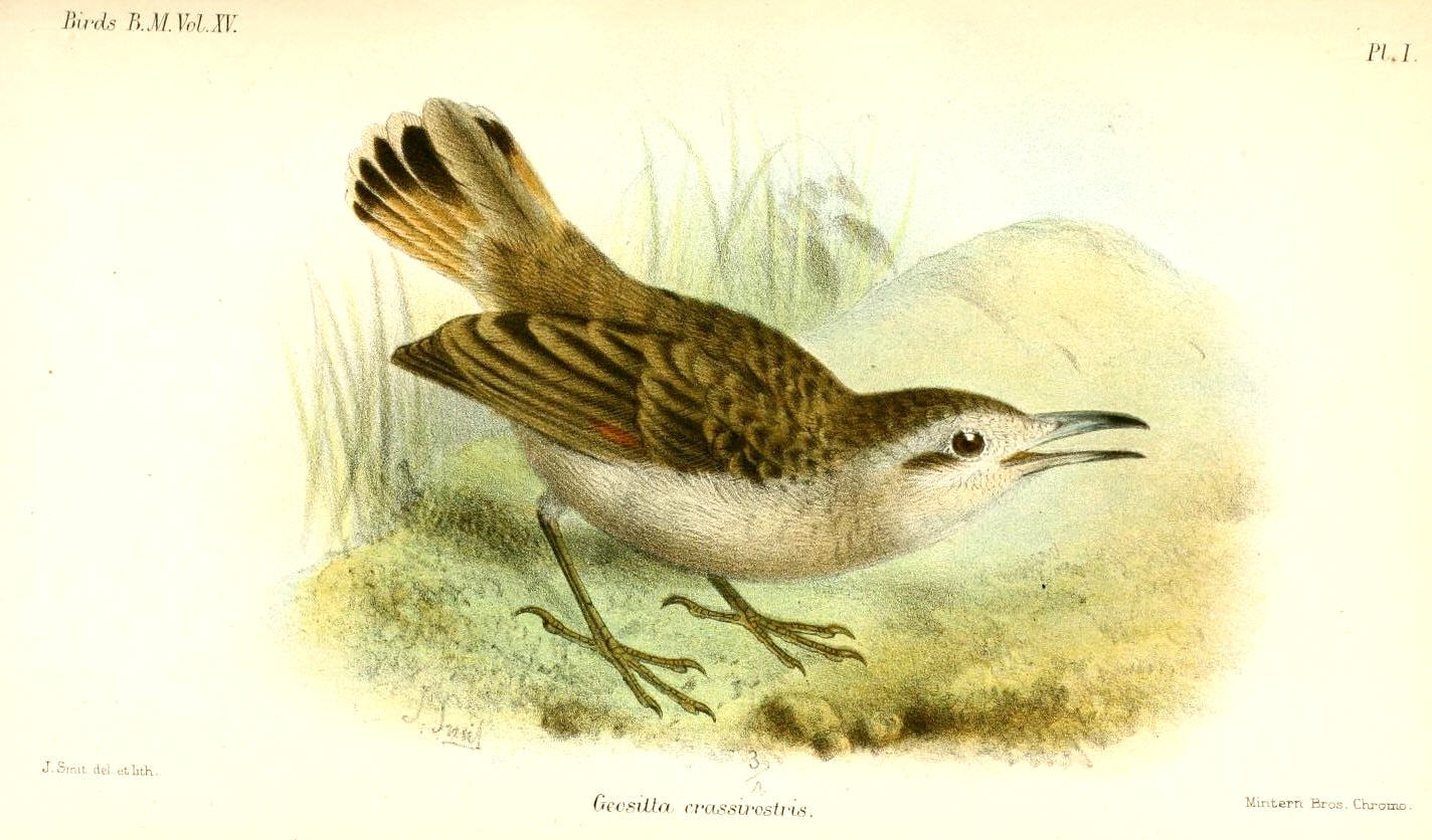 Image of Thick-billed Miner