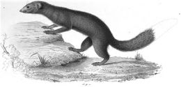 Image of Brown-tailed Mongoose