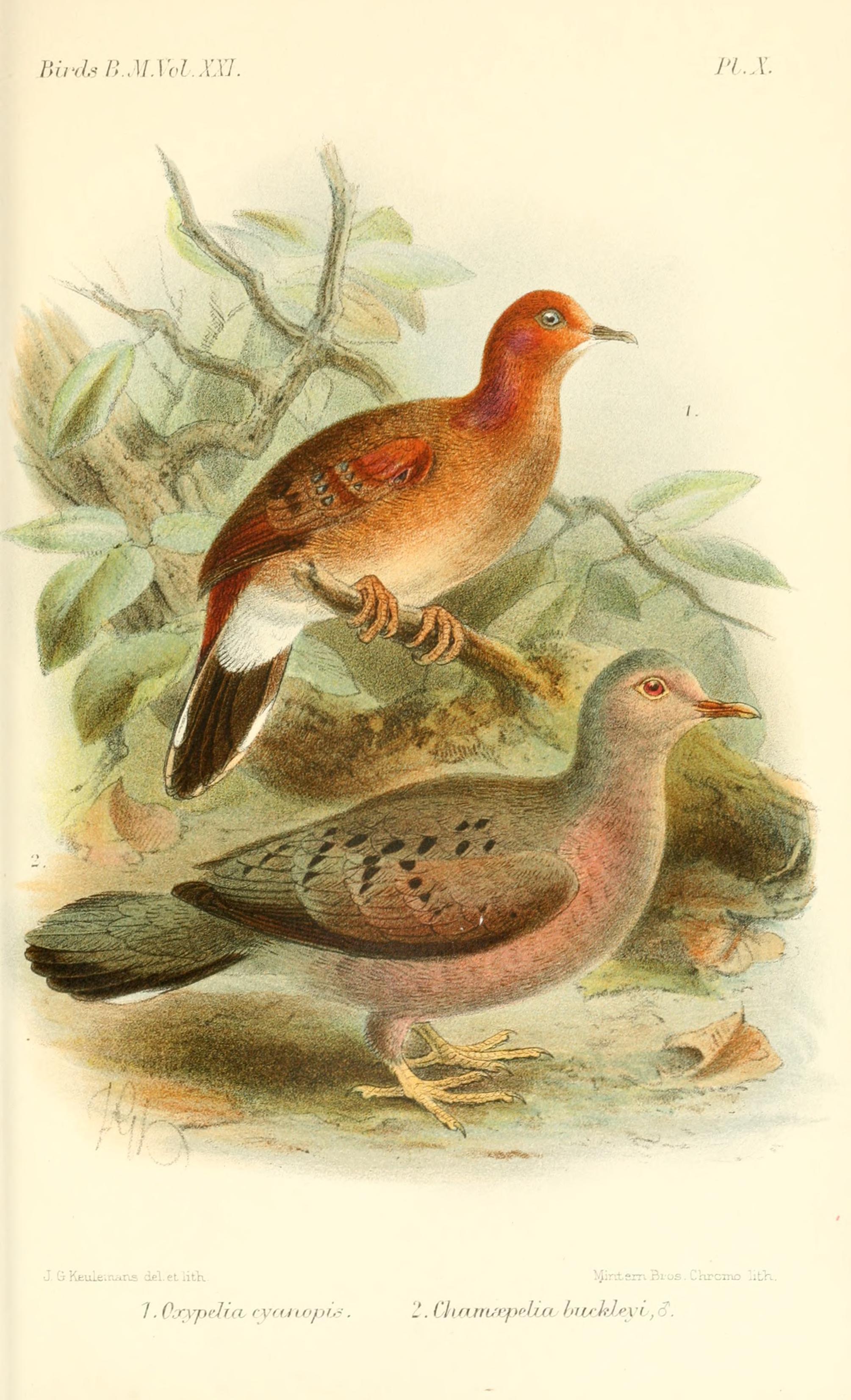 Image of Blue-eyed Ground Dove