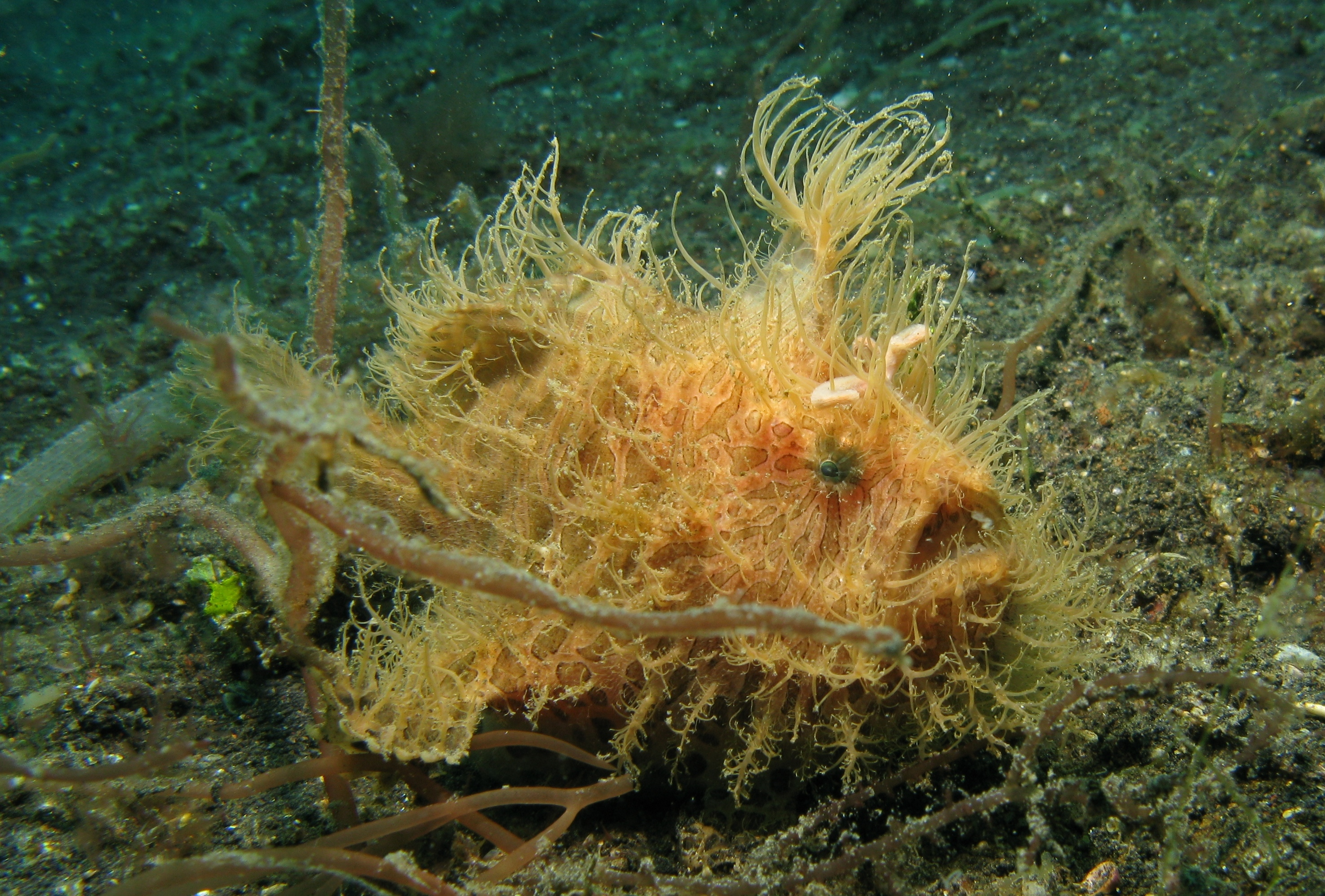 Image of Spitlure Frogfish