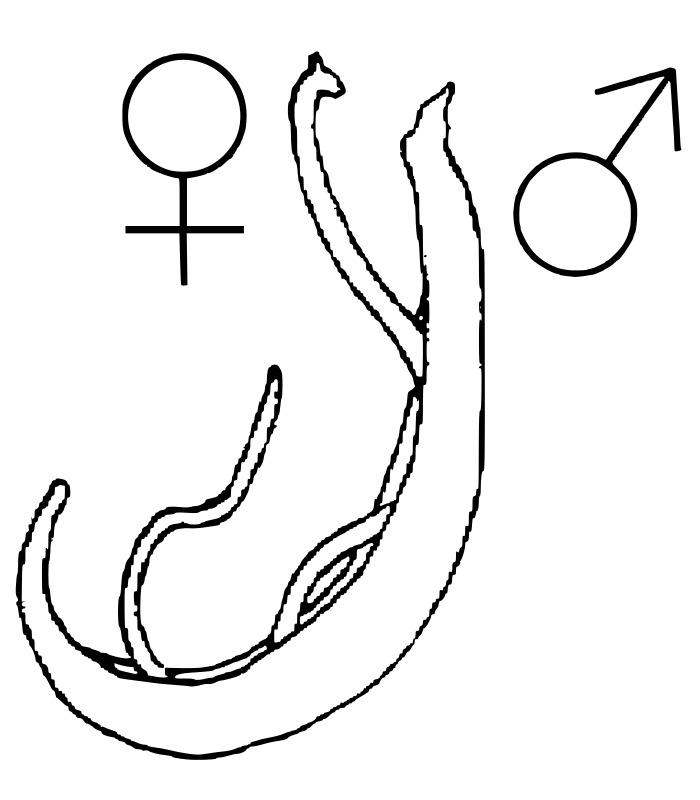 Image of Schistosoma Weinland 1858