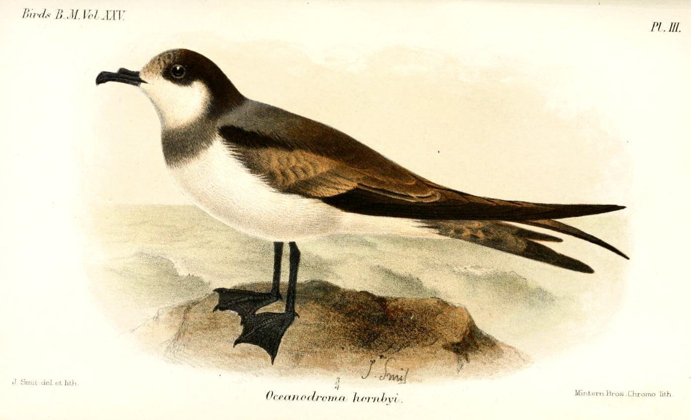 Image of Hornby's Storm Petrel