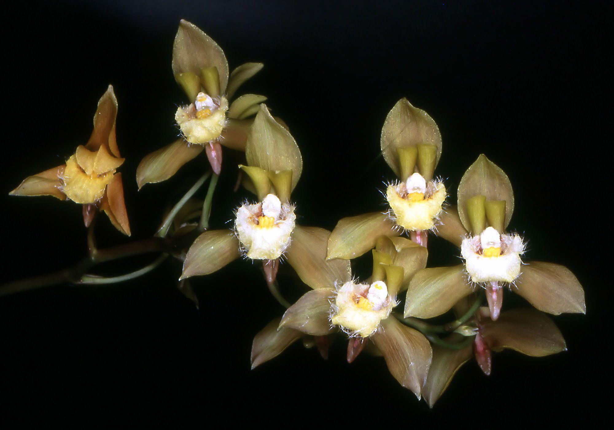 Image of <i>Bifrenaria charlesworthii</i> Rolfe
