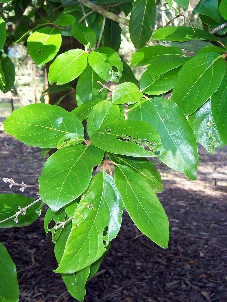 Image of <i>Gmelina fasciculiflora</i> Benth.