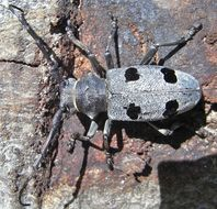 Image of Long-horned beetle