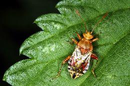 Image of <i><i>Rhopalus</i></i> (Rhopalus) <i>subrufus</i> (Gmelin 1790)