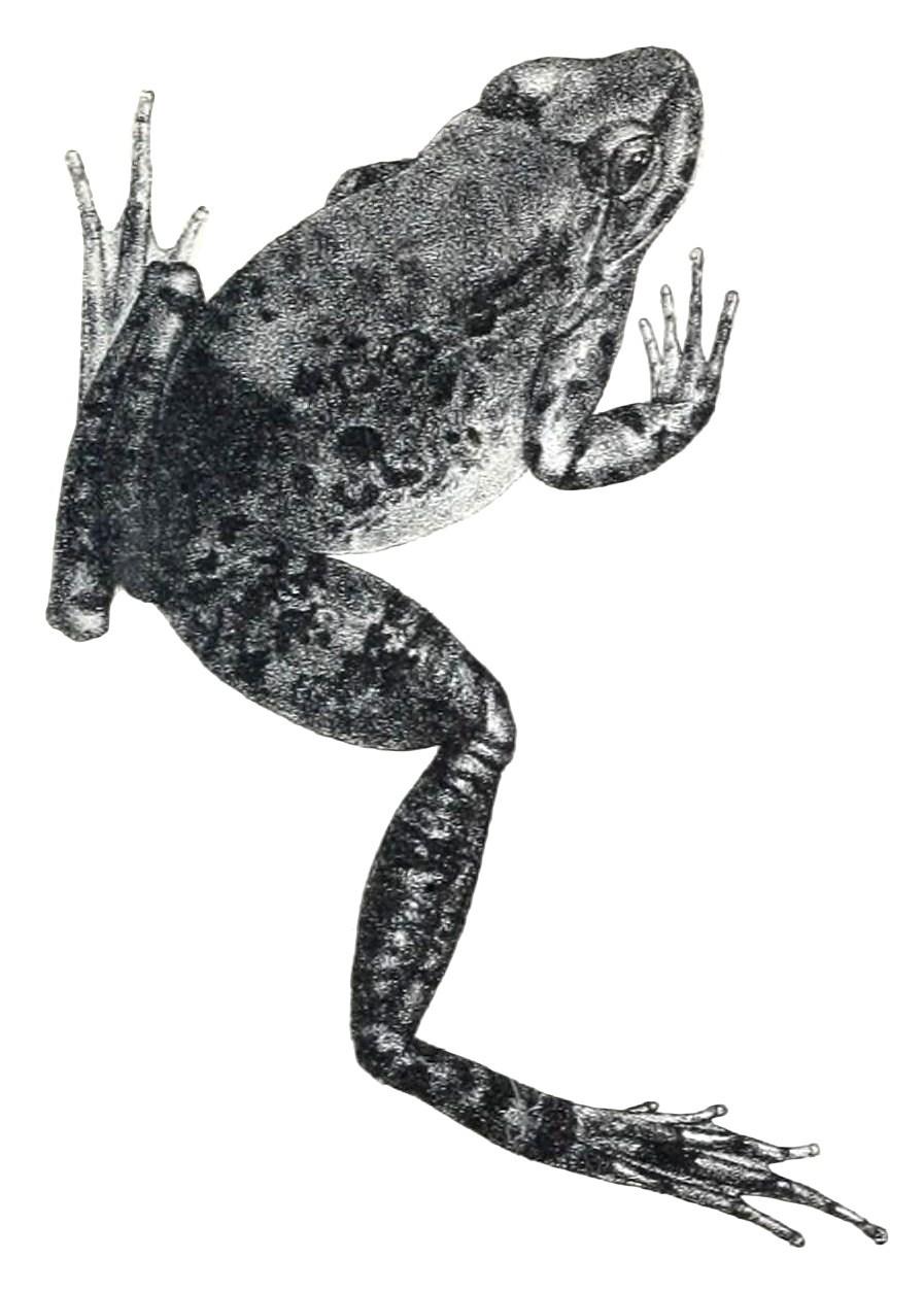 Image of <i>Nanorana blanfordii</i> (Boulenger 1882)