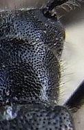 Image of <i>Stenostola dubia</i> (Laicharting 1784)