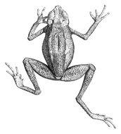 Image of <i>Ansonia leptopus</i> (Günther 1872)