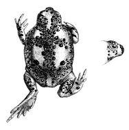 Image of Crucifix Frog