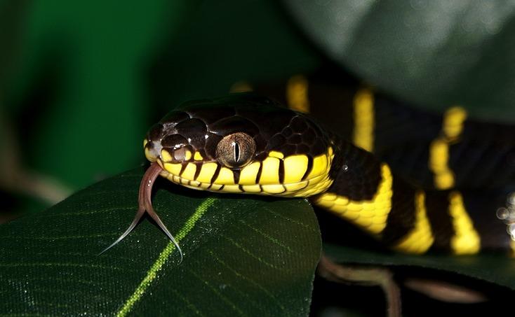 Image of Mangrove snake