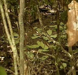 Image of Tooth-billed Catbird