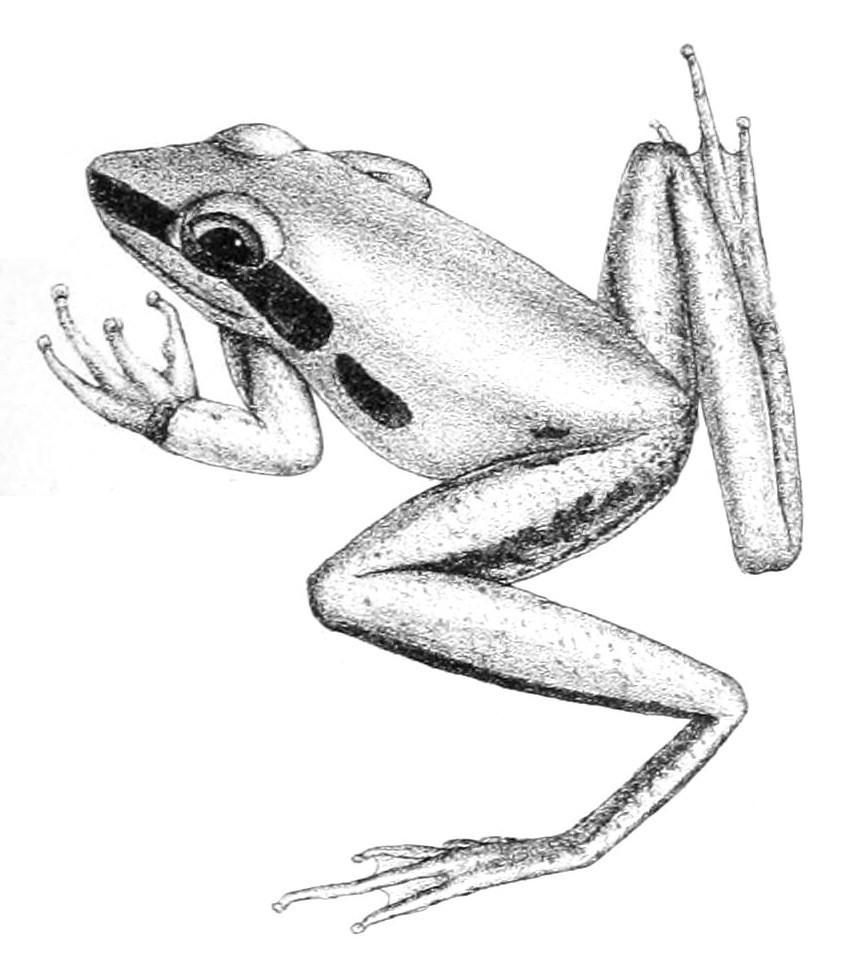 Image of Black-striped Treefrog