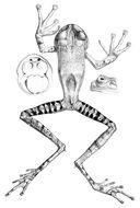 Image of Marsupial frog