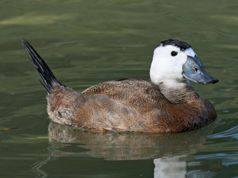 Image of White-headed duck