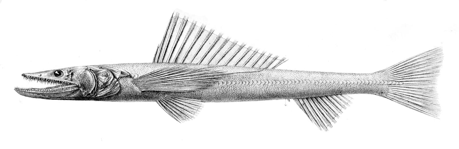 Image of Deep-sea Lizardfish