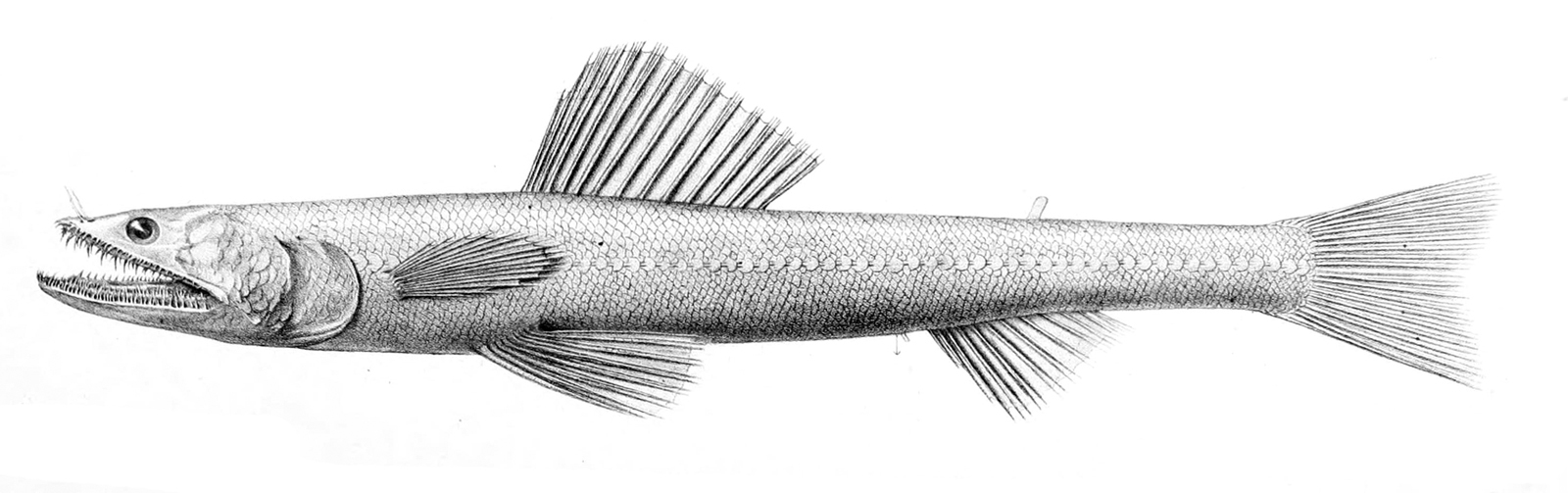 Image of Highfin Lizardfish