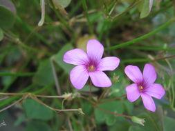 Image of Pink Sorrel