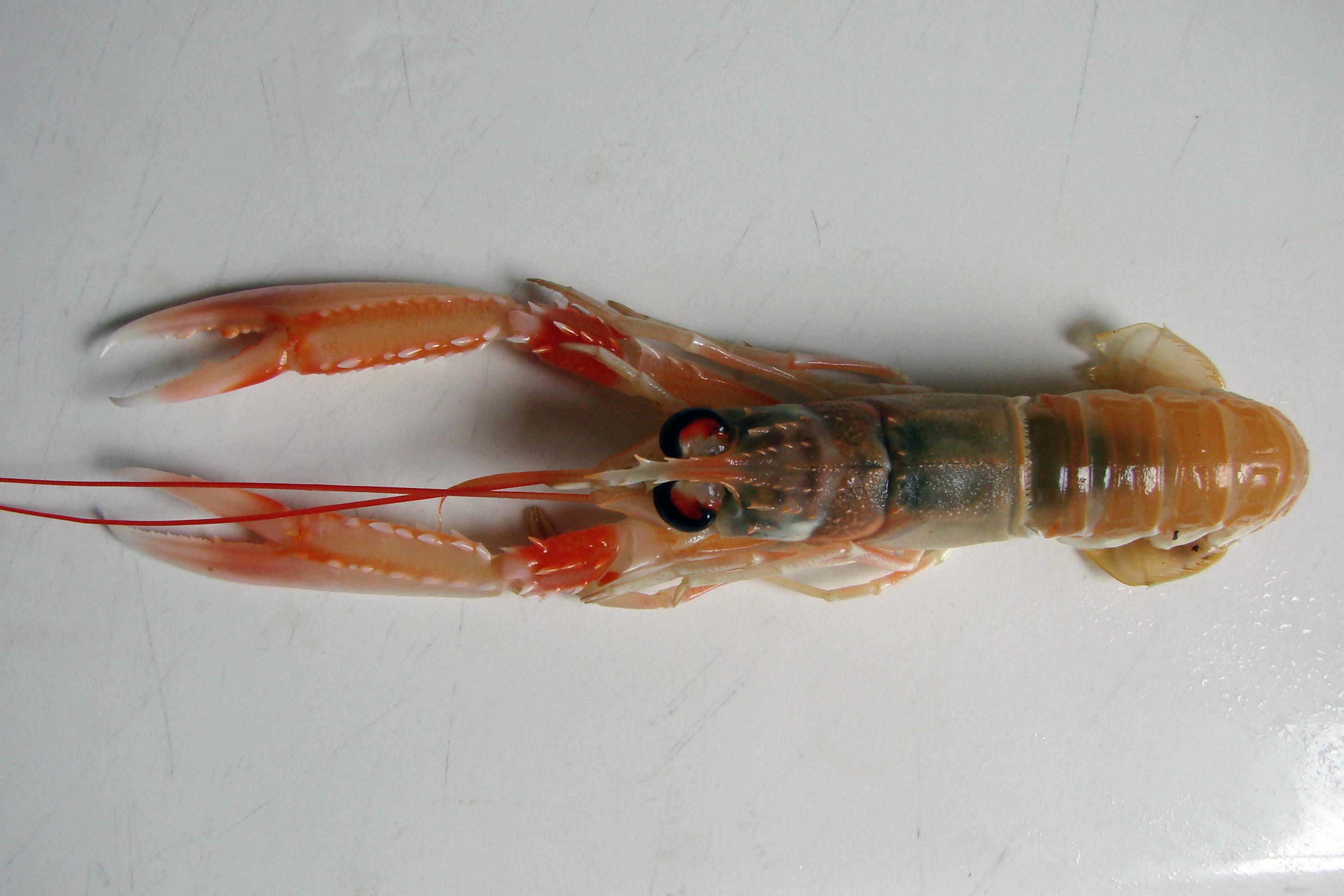 Image of Norway Lobster
