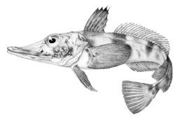 Image of Blackfin icefish