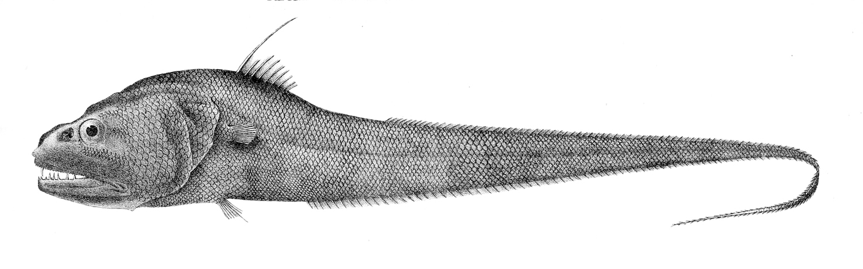 Image of Dogtooth grenadier