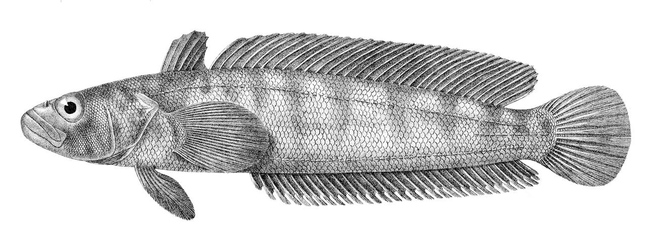 Image of Notothenia rossii