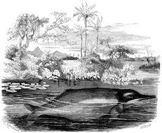 Image of <i>Inia geoffrensis</i> (Blainville 1817)
