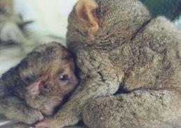 Image of tarsiers