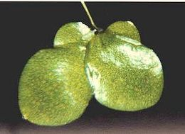 Image of <i>Lemna gibba</i> L.