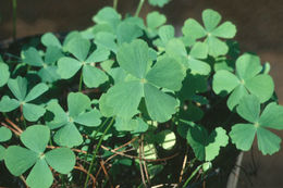 Image of Dwarf Water Clover