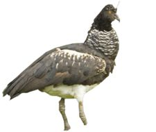 Image of Horned Screamer