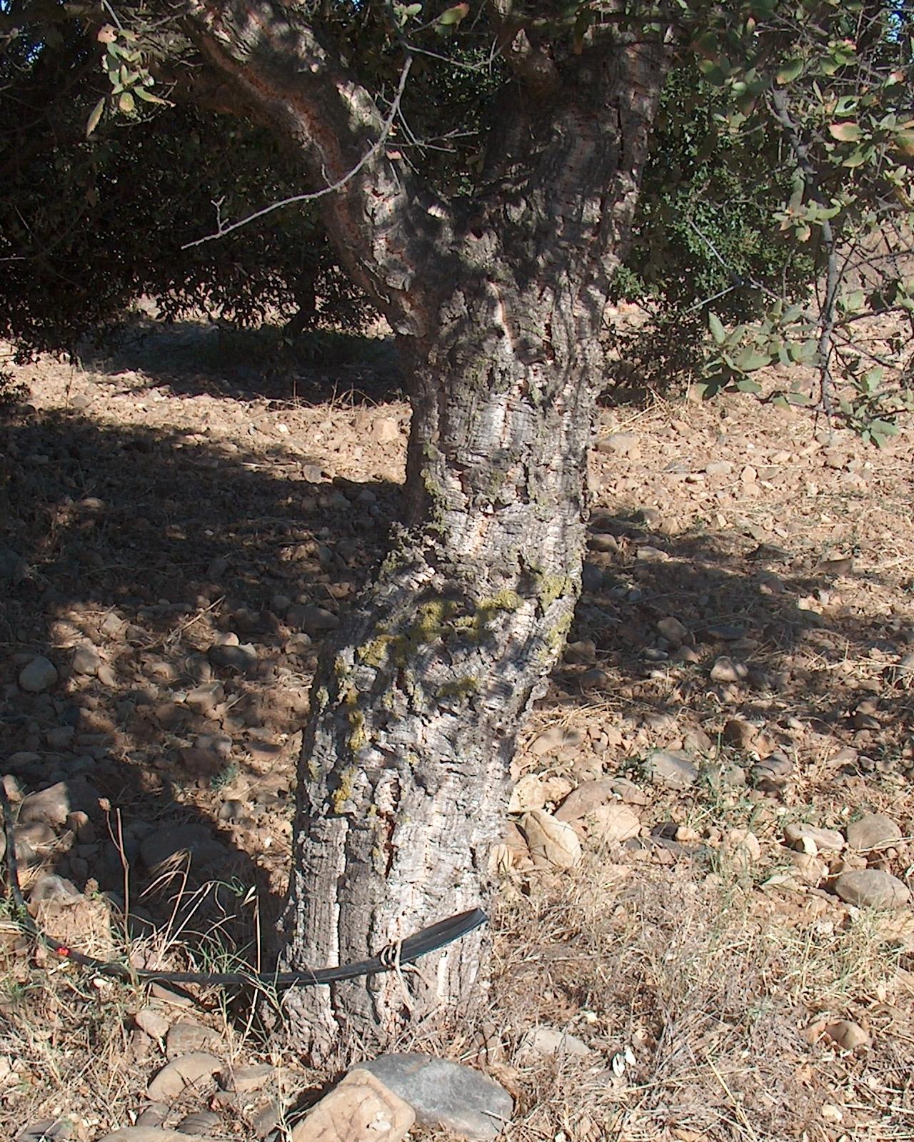 Image of <i>Quercus suber</i> L.