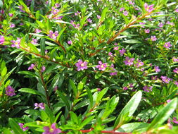 Image of Mexican-heather