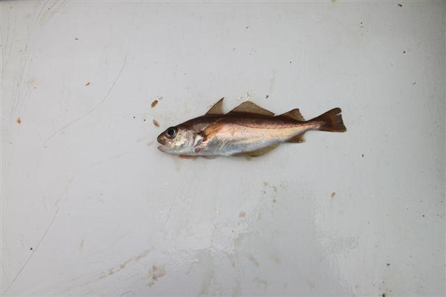Image of Poor cod