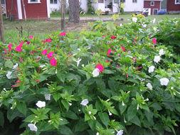 Image of Four o'Clock flower