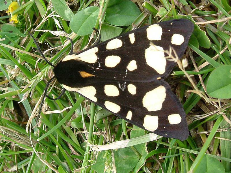 Image of <i>Arctia villica</i>
